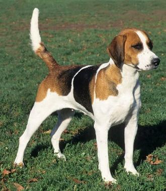 English foxhound is a born hunter