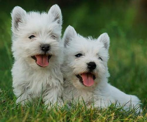 Charming West Highland White Terrier - a brave and agile hunter