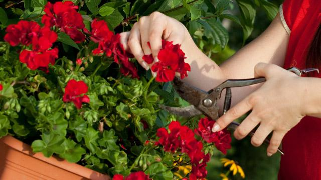 Geranium in winter: care at home. How to care for geraniums on your windowsill
