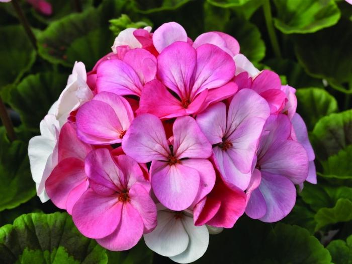 Do you know why geraniums do not bloom?